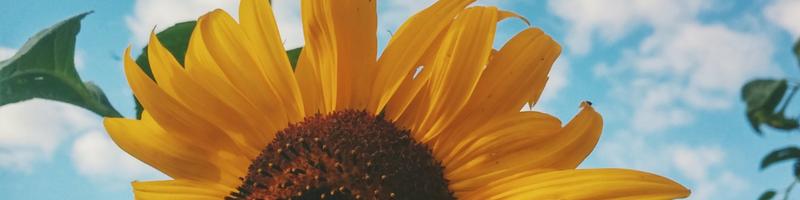 sunflower expand - canva 800x600