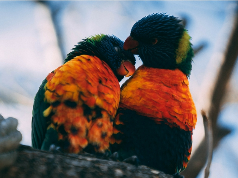 Love birds - canva 800x600