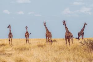 Giraffes on Finnish struggles